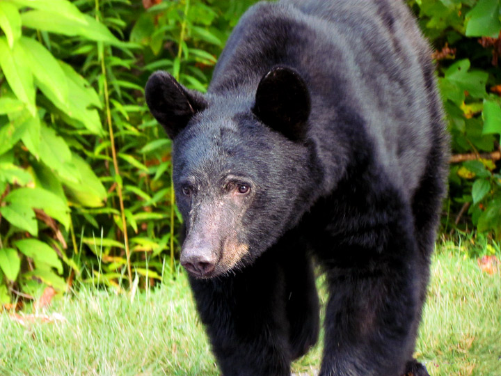 Black Bear in the Smoky Mountains | The Bearfoot Baker