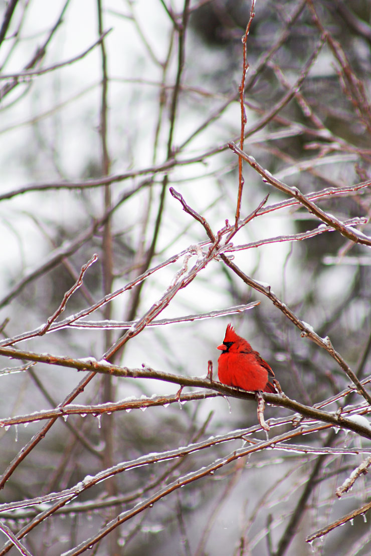 A-Red-Bird-in-the-Snow-via-www.thebearfootbaker.com