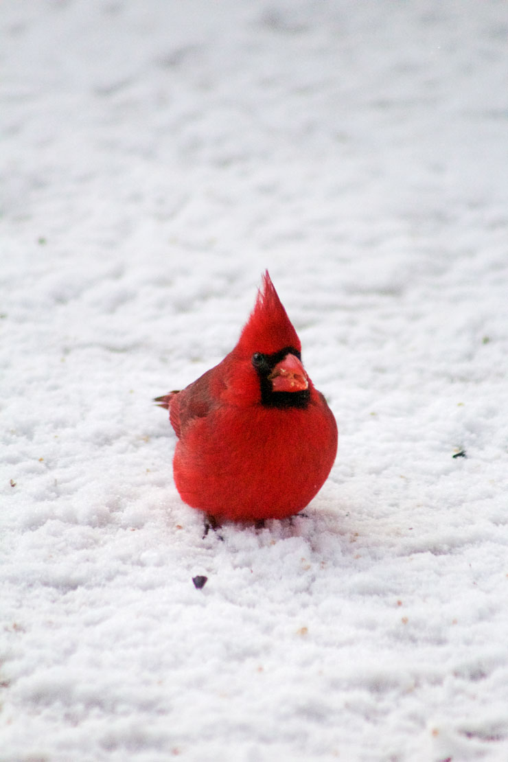 Red Bird in the Snow www.thebearfootbaker.com